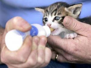 bayi kucing minum susu formula