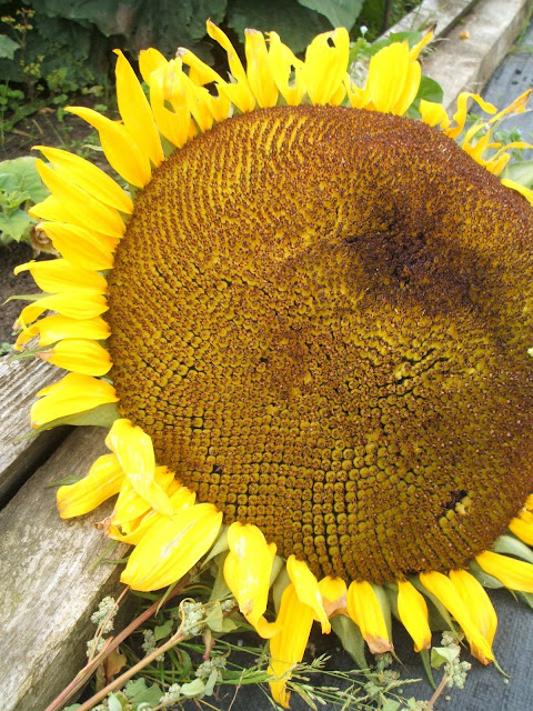 intricate pattern of seeds on a giant sunflower head