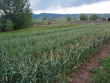 Garlic field