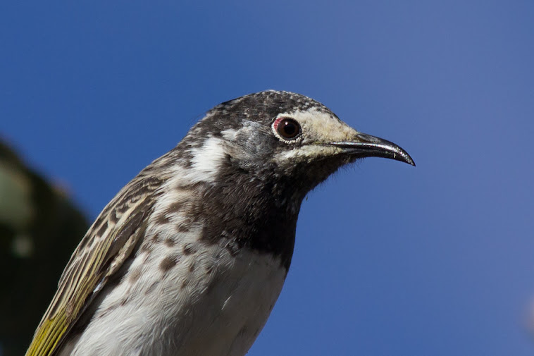 White-fronted Honeyeater