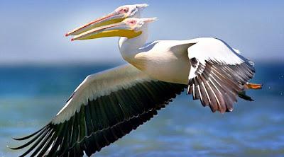 Burung Pelikan Berkepala Dua [ www.BlogApaAja.com ]