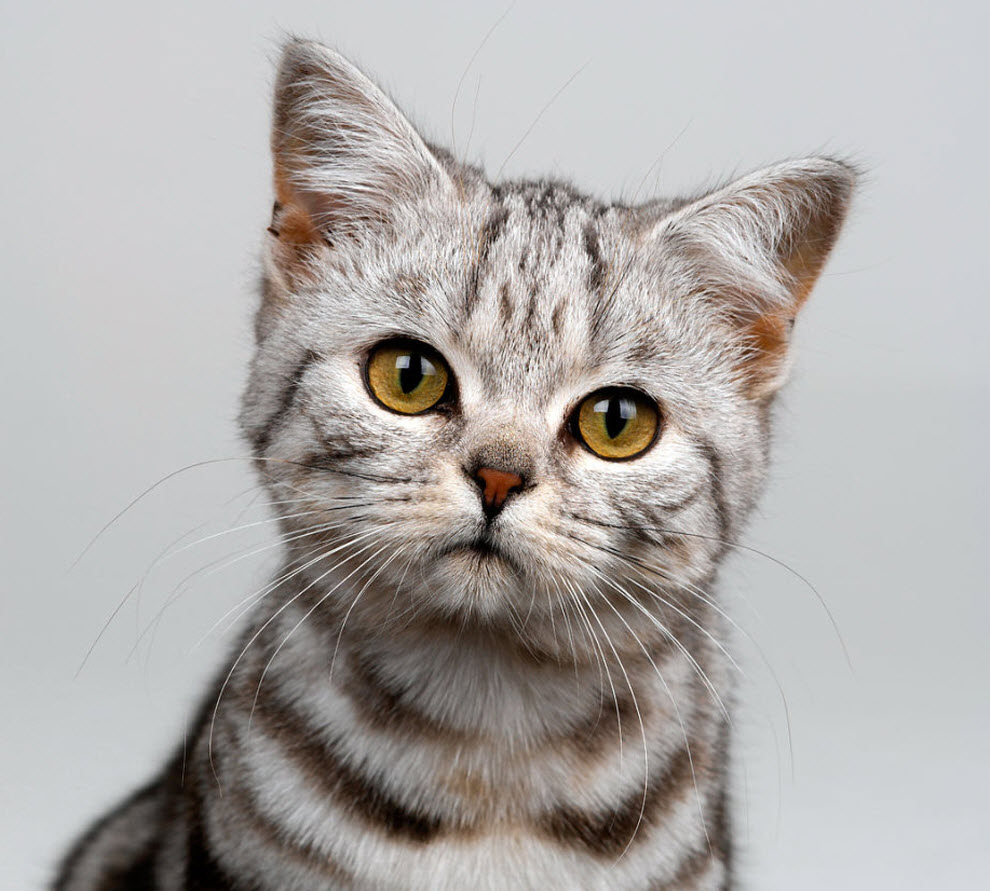 Cat Breeds Pictures Information