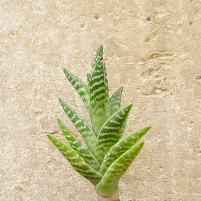 diy 04 bouturer les succulentes plantes grasses. Black Bedroom Furniture Sets. Home Design Ideas