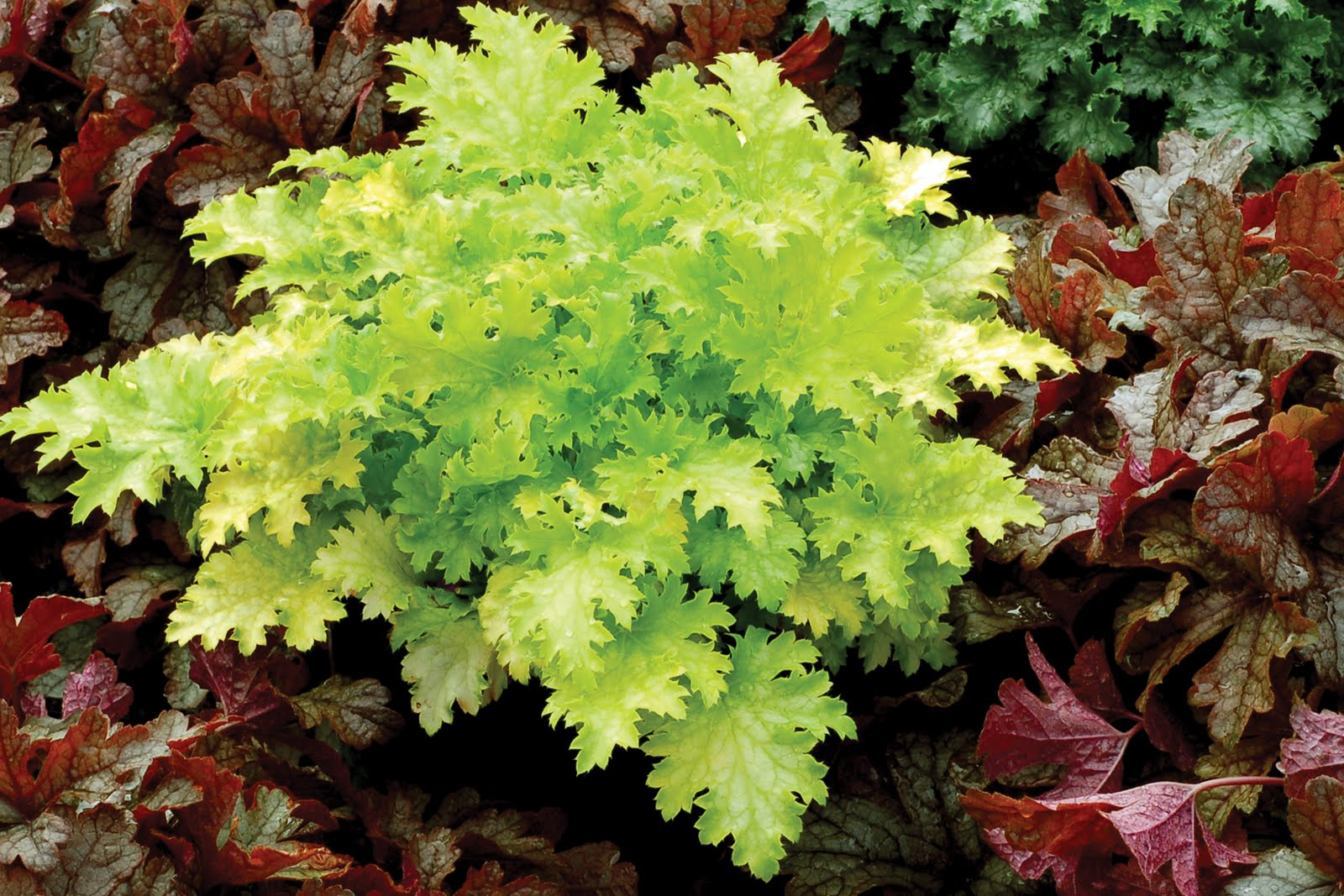 durable gardening heucheras new plants for 2012. Black Bedroom Furniture Sets. Home Design Ideas