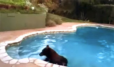 We clean swimming pools even if black bears swim in.