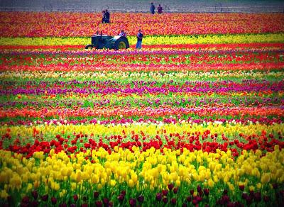 hoa tulip 16