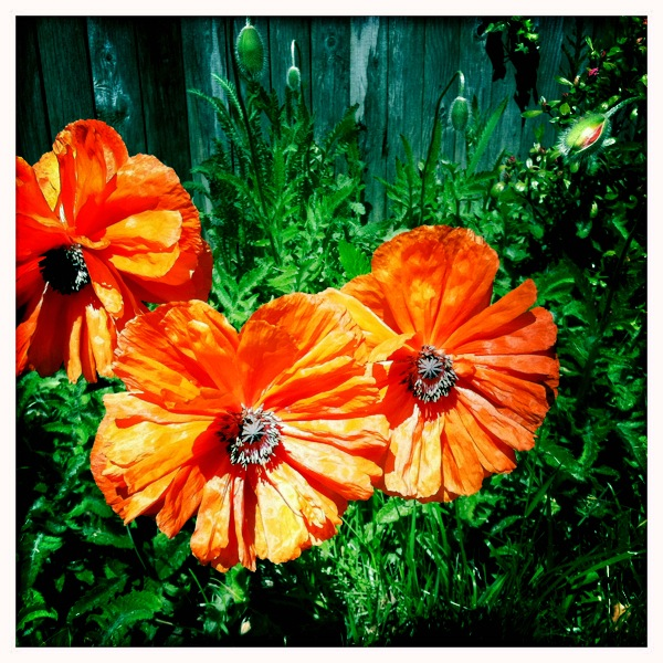 Blooming-Poppies