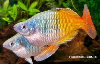 Rainbow Boesemani