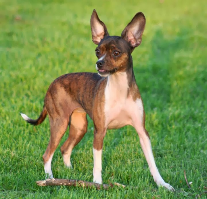 deer head chihuahua breed pictures
