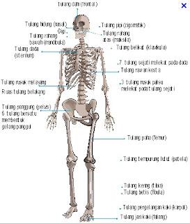 tulang kerangka badan