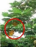 daun sukun bisa jadi obat hepatitis pada ibu hamil