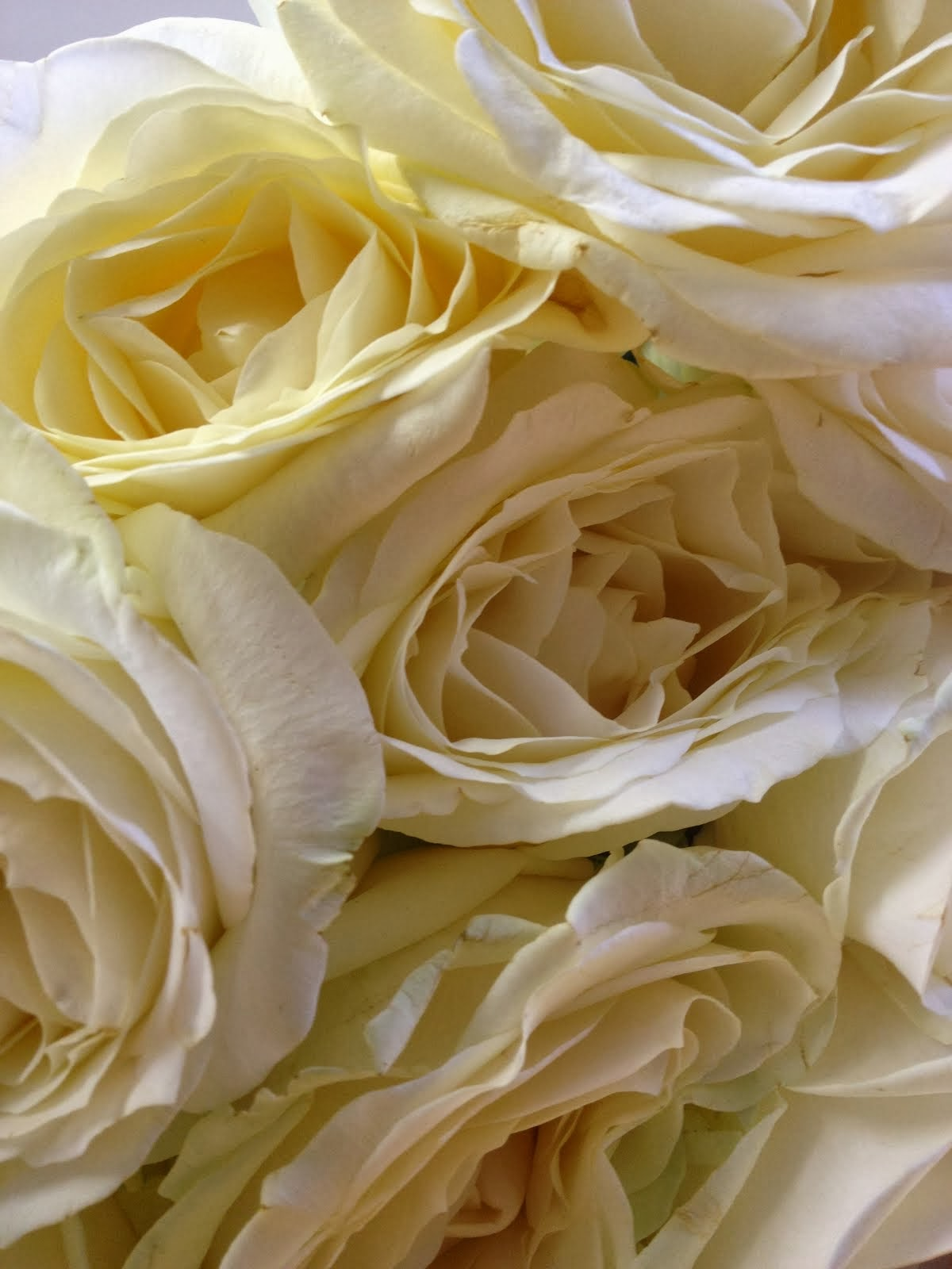 Avalance rose..