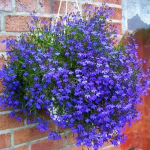Il giardino sfumato fiori da appendere for Piante ricadenti da esterno perenni