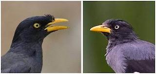 Ciri-Ciri Fisik Burung Jalak Kebo Dan Cara Membedakan Jalak Kebo Jantan Dan Betina