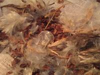 Swamp milkweed, propagating swamp milkweed, native plants
