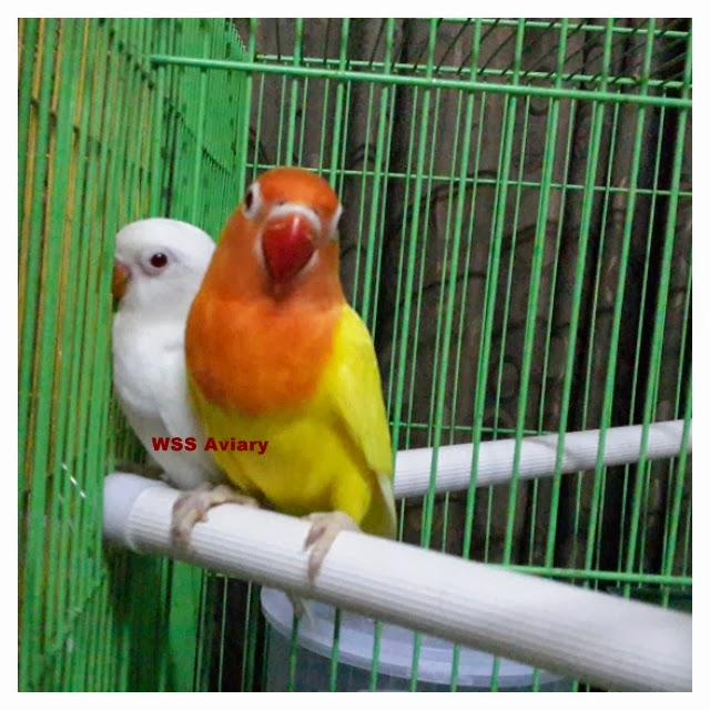 lovebird surabaya waffen ss aviary perkawinan terlarang