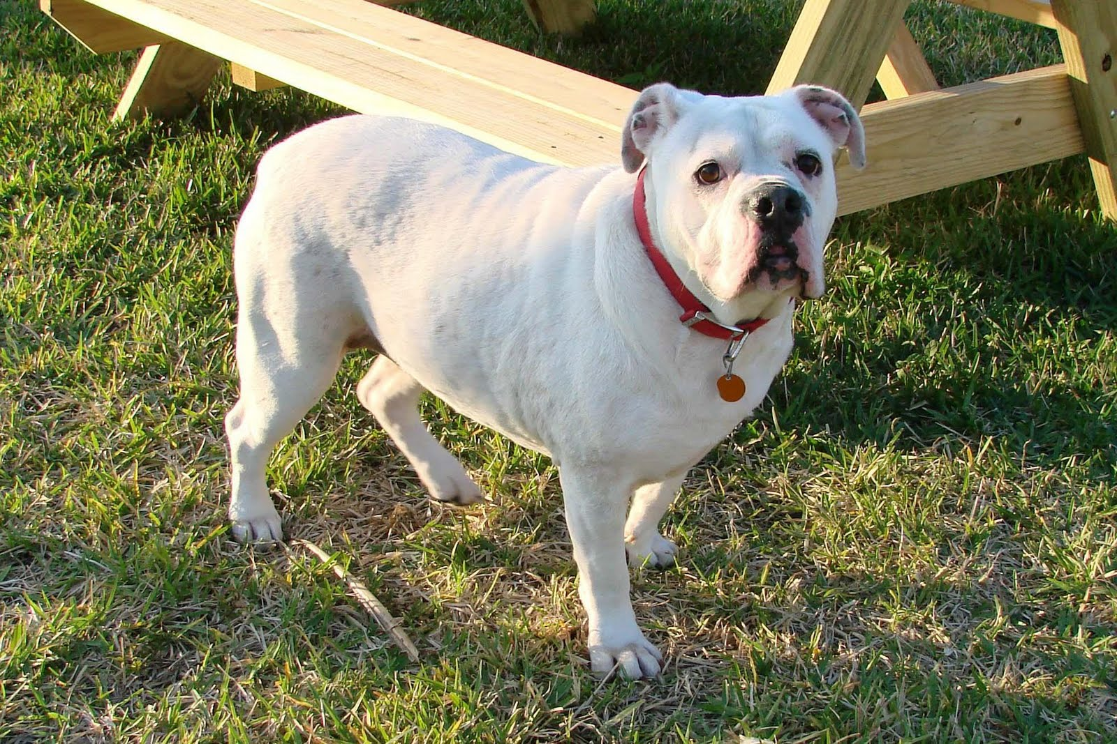 Everything Top Dog: White English Bulldog