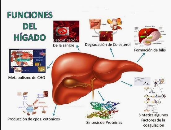 Enfermeria: Hígado: Anatomía y Funciones