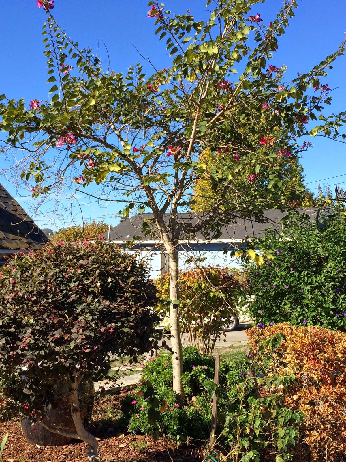 trees of santa cruz county december 2014