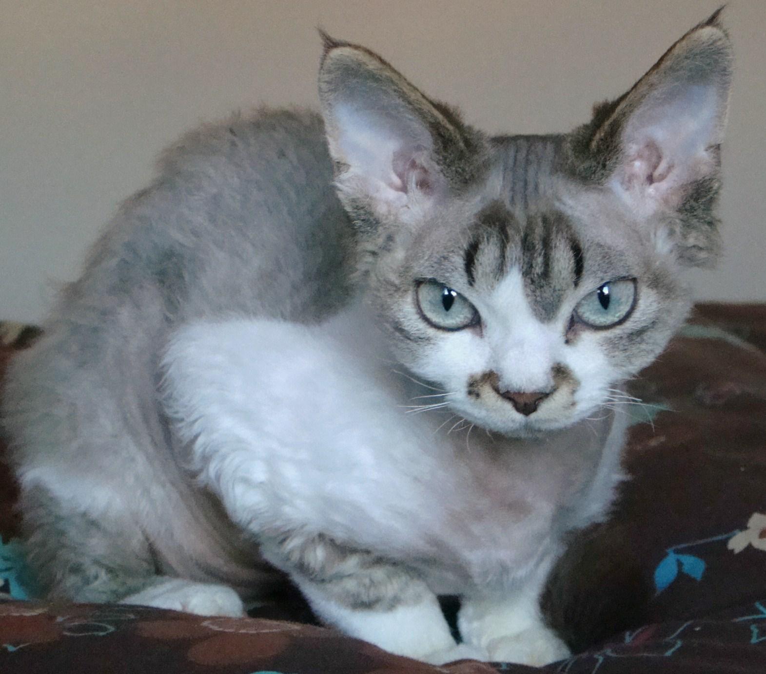 The best online pets info the devon rex cat - Chaton devon rex ...