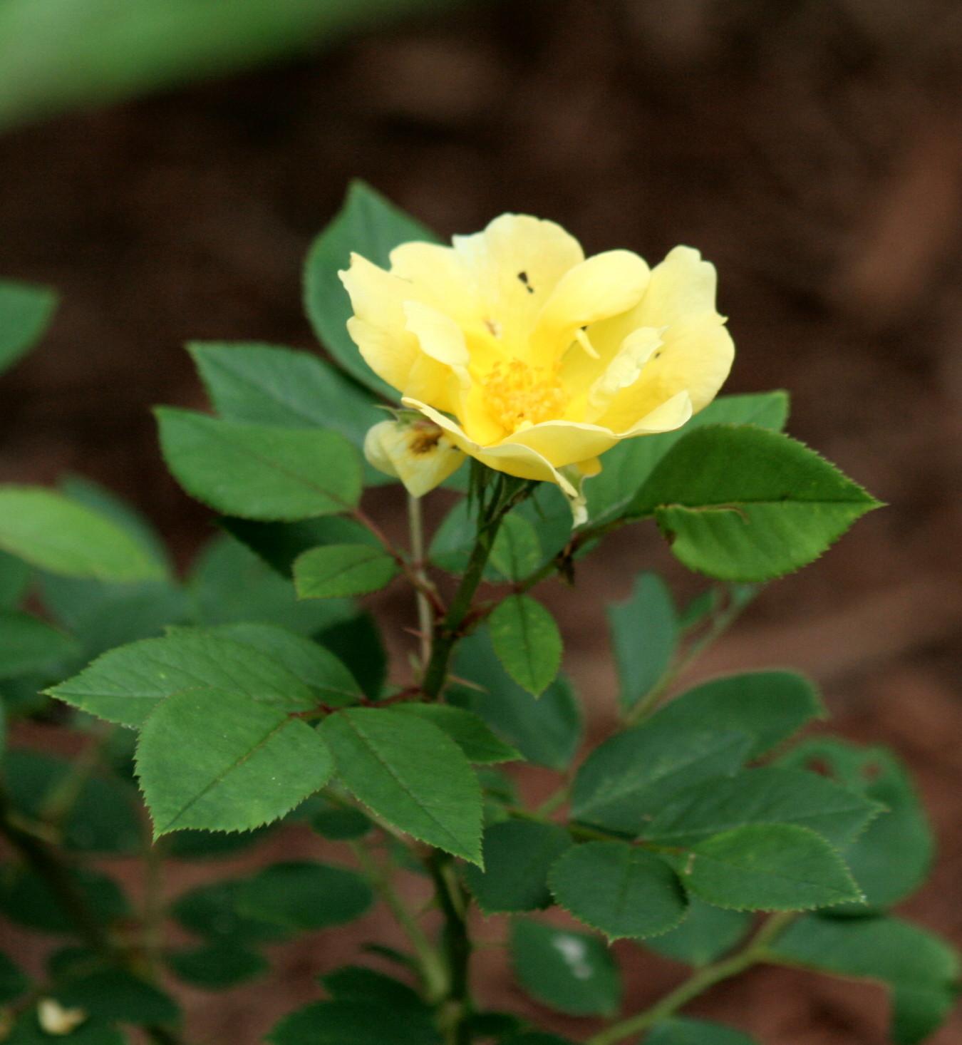 A Hocking Hill's Garden: The Rose Garden