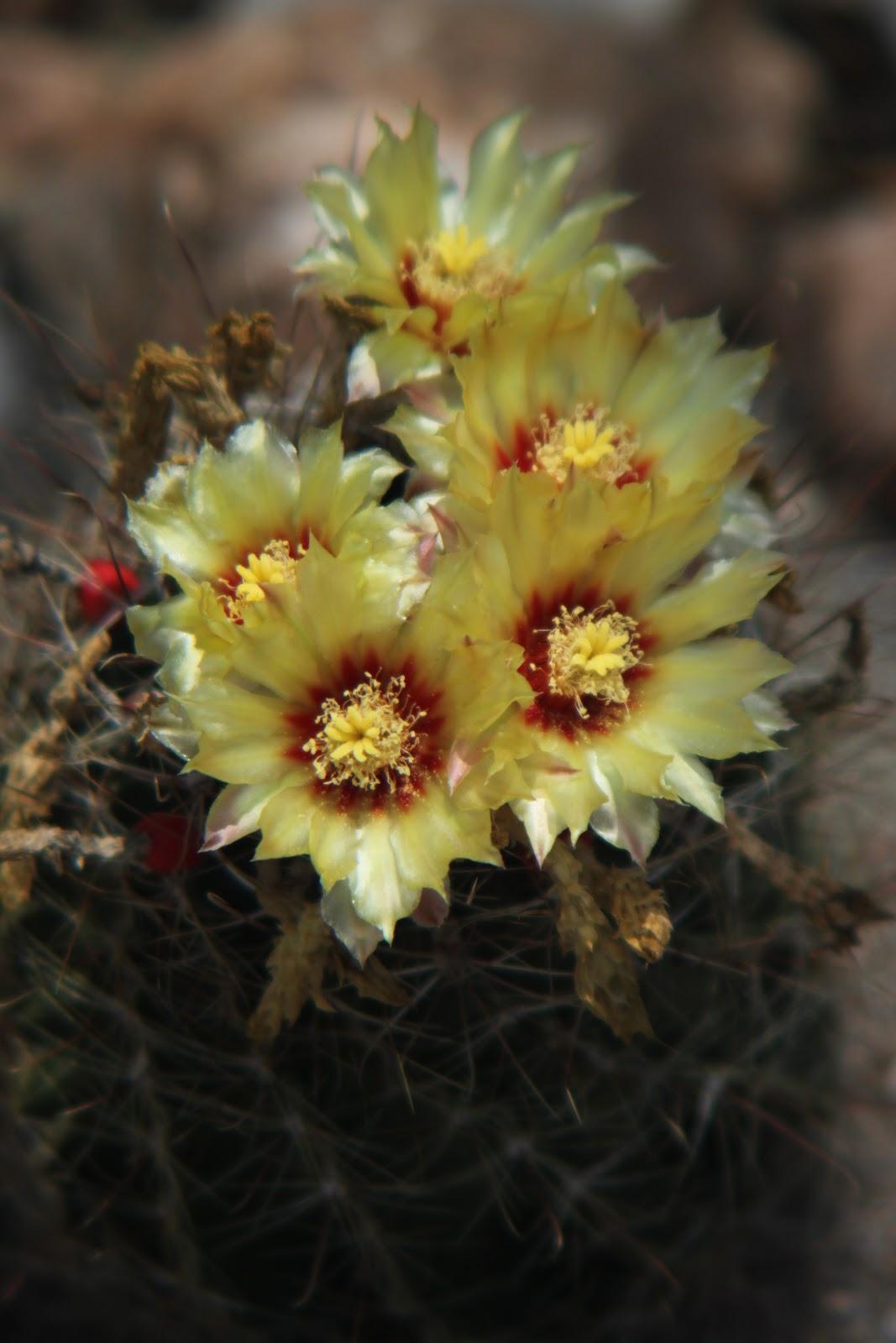 Rock Oak Deer Barrel Cactus Bloom Day