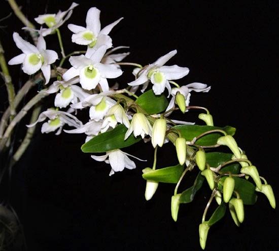 album hoa phong lan