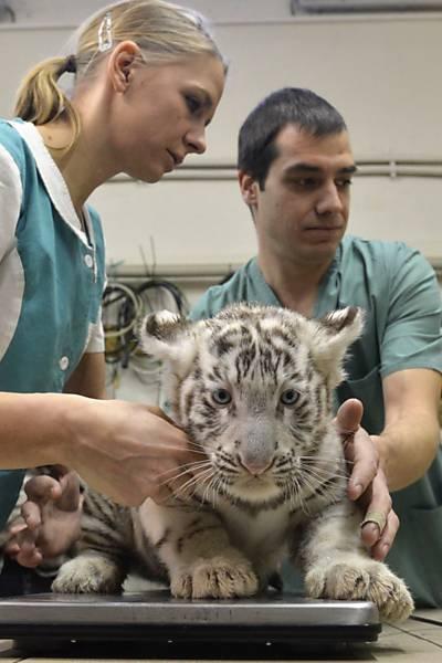 filhote de tigre sendo examinado