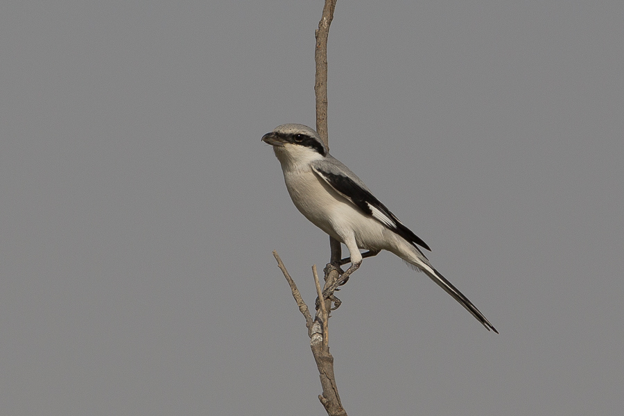 Arabian Shrike