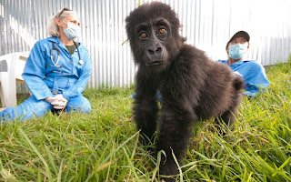 Saving the Virunga Gorillas