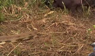 Πύθωνας καταπίνει γουρουνόπουλο [Video]