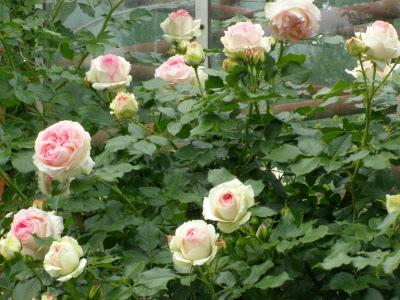 Pierre De Ronsard rose сорт розы фото