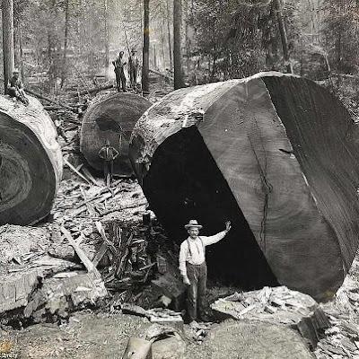 LUMBERJACKS WHO FELLED CALIFORNIA'S GIANT REDWOODS