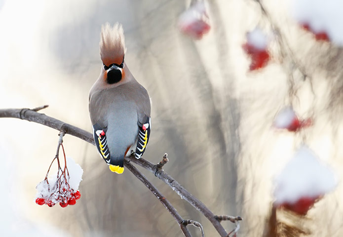 Waxwing by Markus Varesvuo