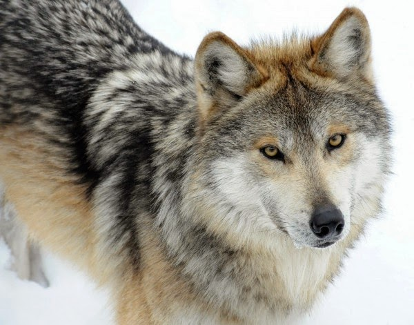 siberian wolf dog names
