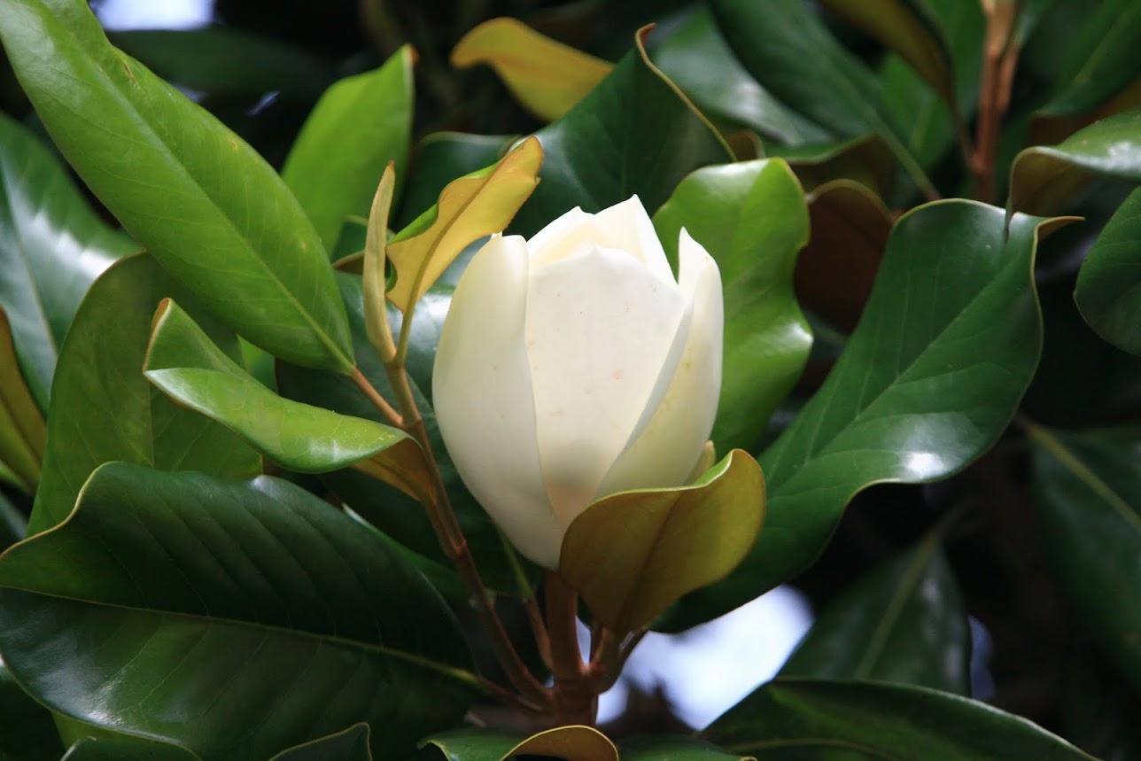 木蘭の画像 p1_9
