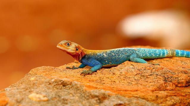 Rainbow Lizard HD Wallpaper