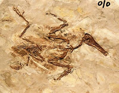 placa fosil de Longipteryx