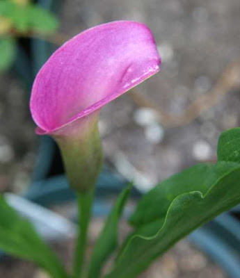 Calla Regal