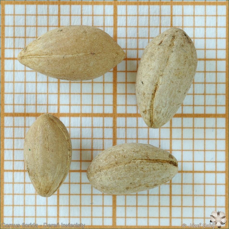 Cornus florida seeds  - Dereń kwiecisty nasiona