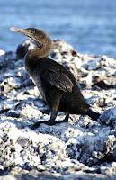 Flightless Cormorant, Fernandina, Galapagos