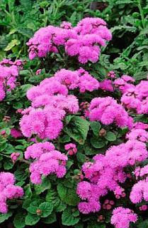Romantic Pink Ageratum Houstonianum