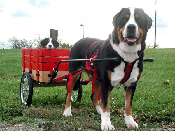 Greater swiss mountain dog pulling - photo#3