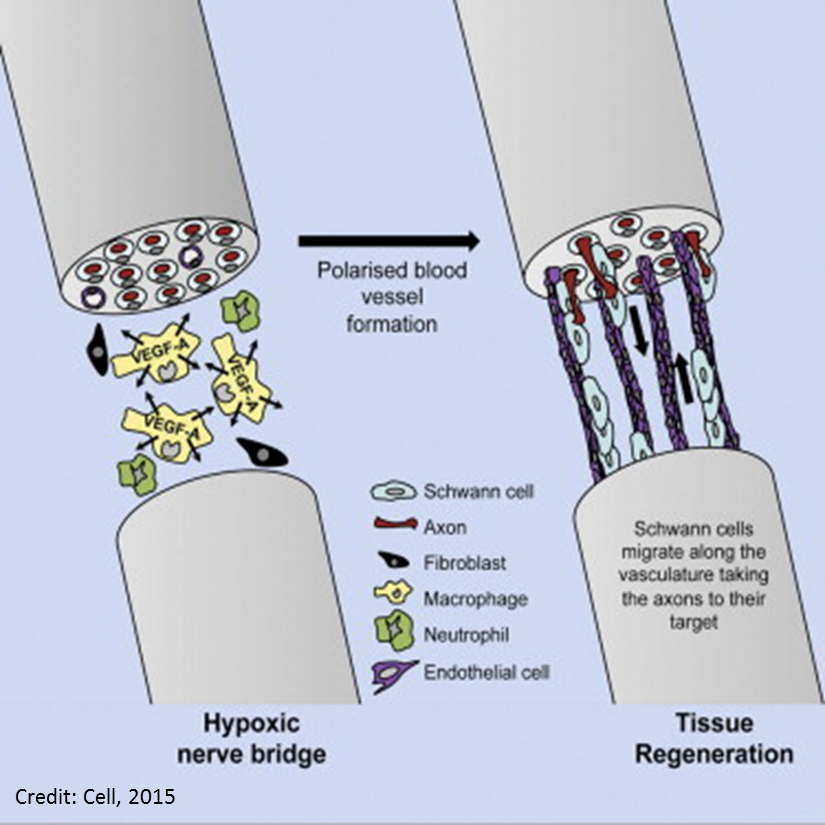 nerve regeneration essay A summary of motifs in pat barker's regeneration learn exactly what happened in this chapter, scene, or section of regeneration and what it means perfect for acing essays, tests, and quizzes, as well as for writing lesson plans.
