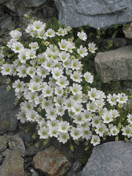 Cerastium carinthiacum (Peverina di Carinzia)