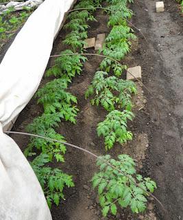 24.05. Грядка помидоров через неделю после высадки, все растения бодренькие