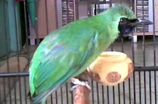 Cara Ampuh Agar Burung Cecak Ijo Tampil Ngentrok Dalam Lomba