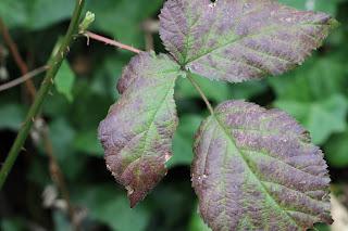 Last year's blackberry leaf.