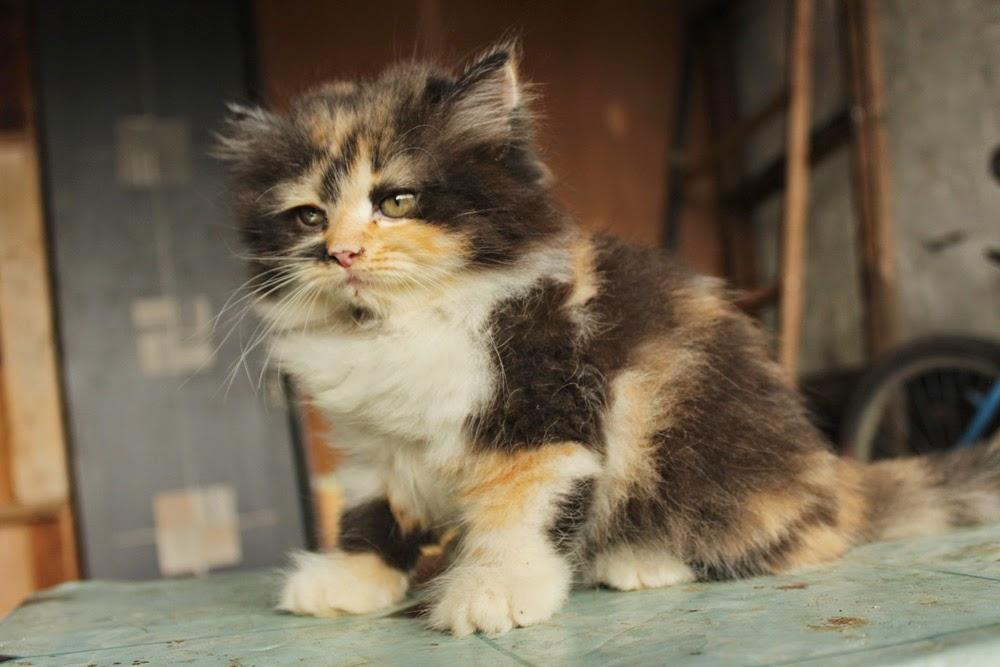 Kucing Persia Anggora Jakarta Segitu Petshop