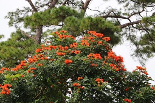 Gia Lai: Cây độc được trồng khắp nơi, kể cả trong nhà